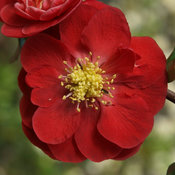 Double Take® Scarlet - Quince - Chaenomeles speciosa
