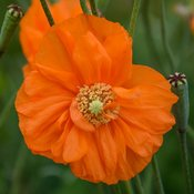 Double Tangerine Gem - Spanish Poppy - Papaver orientalis