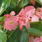 Dragon Wing® Pink - Angelwing Begonia - Begonia hybrid