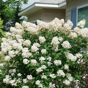 Fire Light hydrangea in bloom in a garden in Michigan. Flowers are white.