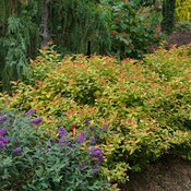 Double Play Candy Corn spirea