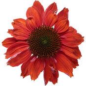 echinacea_color_coded_frankly_scarlet_macro_03.jpg