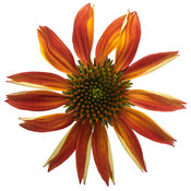 echinacea_color_coded_orange_you_awesome_05_macro.jpg