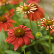 echinacea_color_coded_orange_you_awesome_20.jpg