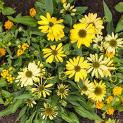 echinacea_color_coded_yellow_my_darling_18.jpg