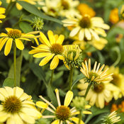echinacea_color_coded_yellow_my_darling_29.jpg
