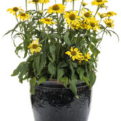 echinacea_color_coded_yellow_my_darling_mono.jpg