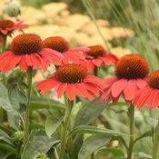 echinacea_frankly_scarlet_cjw20_9.jpg