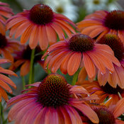 echinacea_orange_you_awesome_apj16_6.jpg