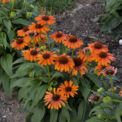 echinacea_orange_you_awesome_apj17.jpg