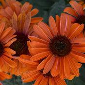 'Orange You Awesome' Echinacea