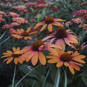 echinacea_orange_you_awesome_ppaf_cpbraf_0003_high_res.jpg