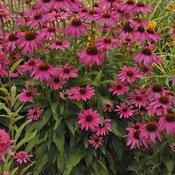 echinacea_purple_emperor.jpg