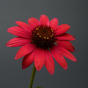 echinacea_sombrero_baja_burgundy_bloom_11632.jpg