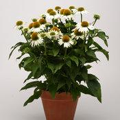 echinacea_sombrero_blanco_pot_on_sweep_11652.jpg