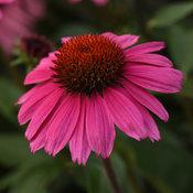 Sombrero® Rosada - Coneflower - Echinacea hybrid