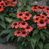 echinacea_tanager_ppaf_0002_low_res.jpg