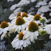 Color Coded® 'The Price is White' - Coneflower - Echinacea hybrid