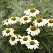 echinacea_the_price_is_white_cjw20.jpg