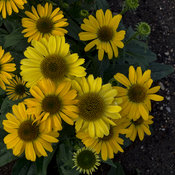 echinacea_yellow_my_darling_apj17.jpg