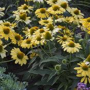 echinacea_yellow_my_darling_apj19_3.jpg
