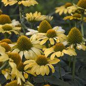 echinacea_yellow_my_darling_apj19_4.jpg