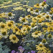 echinacea_yellow_my_darling_apj19_7.jpg
