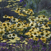 echinacea_yellow_my_darling_cjw19_5.jpg