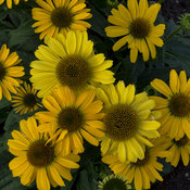 echinacea_yellow_my_darling_ppaf_cpbraf_0000_high_res.jpg