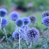 echinops_blue_glow_smm13_2.jpg