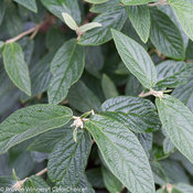 Emerald Envy® - Lantanaphyllum Viburnum - Viburnum x rhytidophylloides