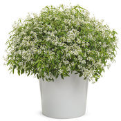 euphorbia_diamond_snow.jpg