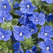evolvulus_blue_variety.jpg