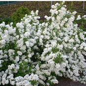 Snow Day® Surprise - Pearl-bush - Exochorda hybrid