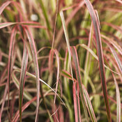 Graceful Grasses® 'Fireworks' - Variegated Red Fountain Grass - Pennisetum setaceum 'Rubrum'