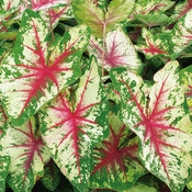 Heart to Heart™ 'Flatter Me' - Fancy Caladium - Caladium hortulanum