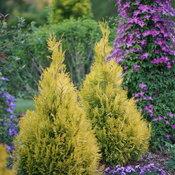 Fluffy® - Western Arborvitae - Thuja plicata