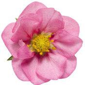 fragaria_berried_treasure_pink_02.jpg