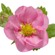 fragaria_berried_treasure_pink_macro_01.jpg