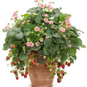 fragaria_berried_treasure_pink_mono.jpg