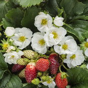 fragaria_berried_treasure_white.jpg