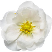 fragaria_berried_treasure_white_macro_04.jpg