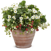 fragaria_berried_treasure_white_mono.jpg