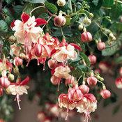 Swingtime - Trailing Fuchsia - Fuchsia hybrid