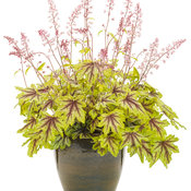 Fun and Games® 'Eye Spy' - Foamy Bells - Heucherella