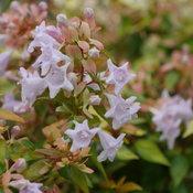 funshine_abelia_flowers.jpg