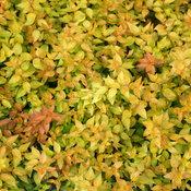 funshine_abelia_foliage.jpg