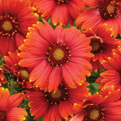Heat it Up™ Scarlet - Blanket Flower - Gaillardia hybrid