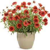 gaillardia_heat_it_up_scarlet.jpg