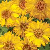 Heat it Up™ Yellow - Blanket Flower - Gaillardia hybrid